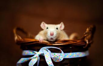 rat sitting in a basket