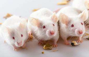 Albino mouse eating