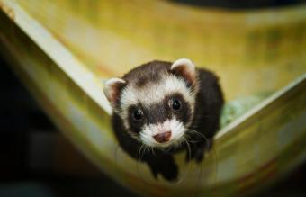 Beautiful ferret