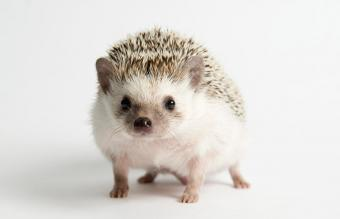 Strolling Hedgehog