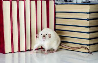 Rat and books