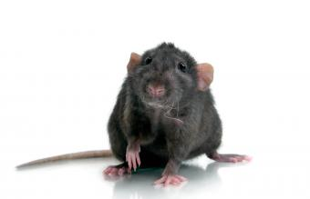 Interested Black Rat