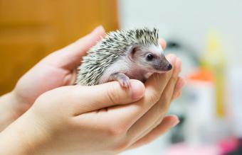 Baby hedgehog in human hands