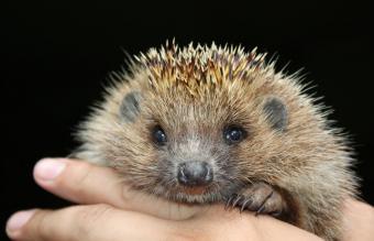 Hand Holding Hedgehog