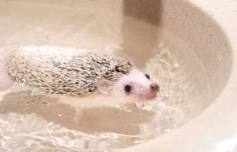 hedgehog swimming in water