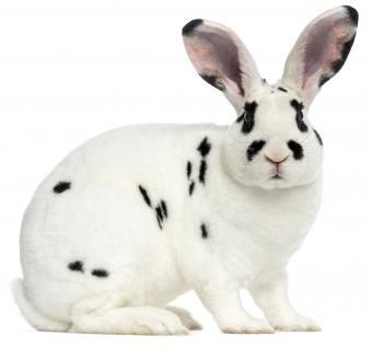 Rex Dalmatian Rabbit