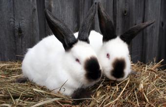 Himalayan Rabbit Characteristics and Pictures