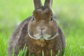 Rex Rabbit Breed Profile