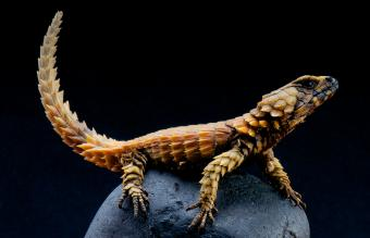 Do Armadillo Lizards Make Good Pets?