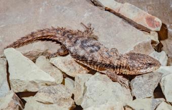 armadillo lizard on rock