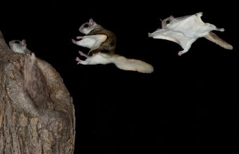 Flying Squirrel Pet Guide