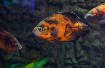 Carnivorous Pet Fish Care