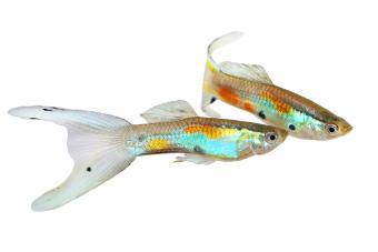 Neon Endler Guppy Double Swordtail Male Guppies