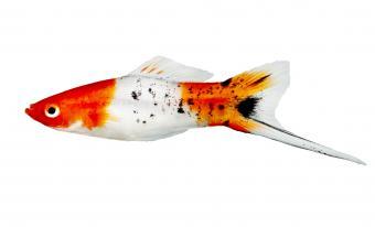 Koi Swordtail Xiphophorus Helleri Male