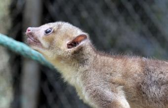 Kinkajou at the Zoo