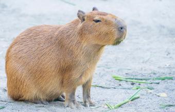 Cute Capybara eating