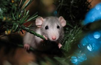 Dumbo Rat Pet Facts, Behavior, and Care Guide