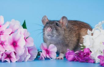 Dumbo rat sitting in fresh flowers