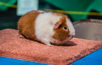 Teddy Guinea Pig Breed Information and Care