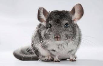 Chinchilla Dust Bath Instructions and Tips