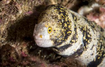 Snowflake Eel Profile, Care, and Tank Compatibility
