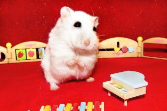 White dwarf hamster in child music room