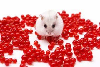 Hamster with redcurrants
