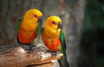 Two Jenday conures sitting in a branch