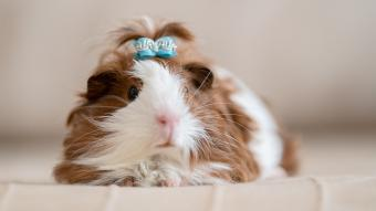 Adorable Guinea Pig Names for Girls and Girl Pairs