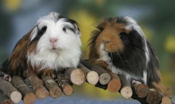 Big List of Boy Guinea Pig Names From Popular to Unique