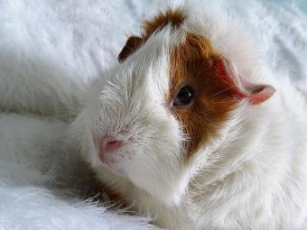 Close-Up Of Guinea Pig