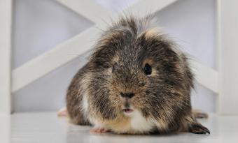 Guinea pig on chair