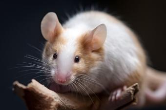Closeup of pet mouse