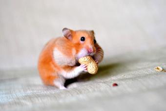 Closeup of pet hamster eating peanut