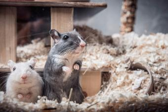 Pet gerbils looking out of cage