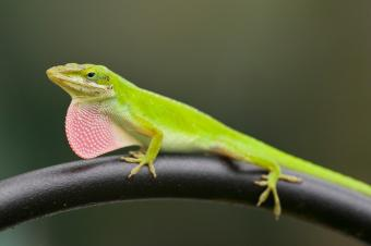 Small green anole on branch
