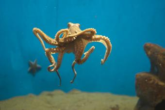 Tan colored Octopus swimming