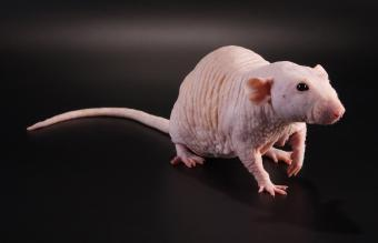 Hairless Pet Rat Facts, Lifespan, and Care Guide