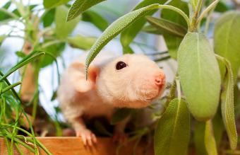 Hairless dumbo rat