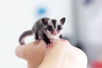 Baby glider joey on a hand