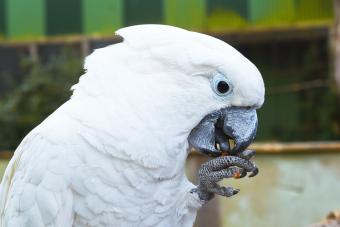 White cockatoo is eating a small nut