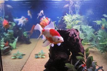 Sarasa Comet goldfish
