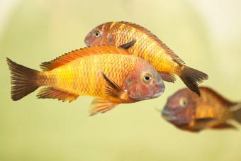 Cichlids Swimming In Fish Tank At Aquarium