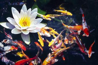 Water Lily flower with koi fish swinning around it