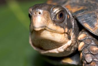 Box Turtle faces camera with focus on large brown eye