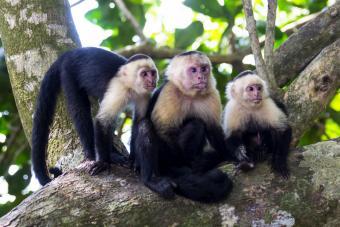 Three White - faced capuchin monkeys on tree
