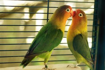 Lovebirds kissing in cage