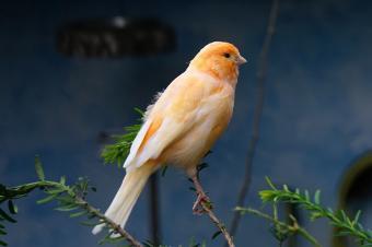 Canary perching on tree branch