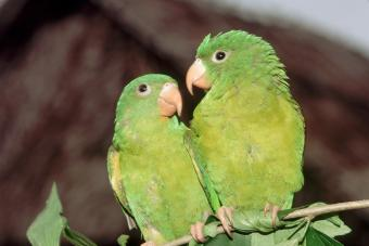 Pair of green Parrotlets