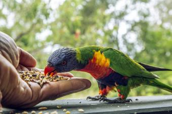 Hand feeding a Rainbow Lorikeet
